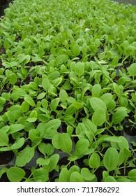 Closeup baby kale