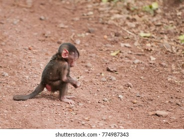 Closeup of a baby Olive Baboon (scientific name: papio anubis, or Nyani in Swaheli) in the Lake Manyara,  National park, Tanzania