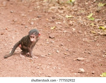 Closeup of a baby Olive Baboon (scientific name: papio anubis, or Nyani in Swaheli) in the Serengeti/Tarangire, Lake Manyara, Ngorogoro National park, Tanzania