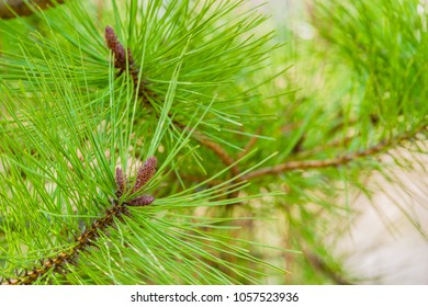 Closeup of baby pine cones growing on end of tree branch nestled among bright green pine needles.