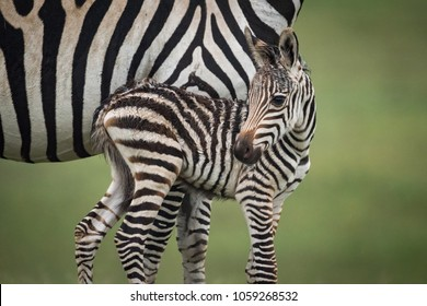 Close-up of baby plains zebra beside mother