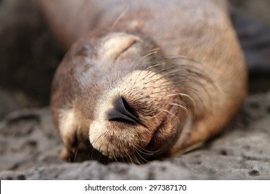 closeup of a Baby sea lion sleeping in the Galapagos Islands