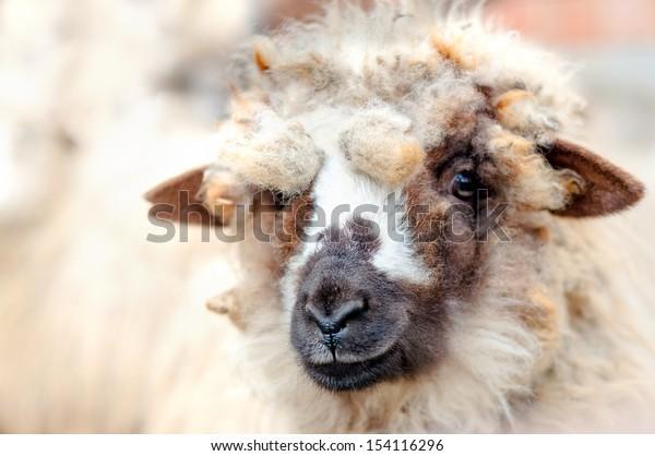 Close-up of baby sheep smiling at camera while eating