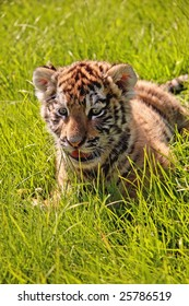 A closeup of a baby tiger playing in the grass
