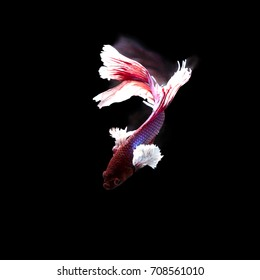 closeup background animal  aquarium fighting betta fish