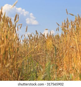 close-up background of ripe wheat in a field on a sunny summer day