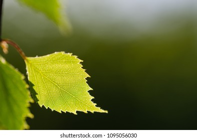 Closeup of a backlit birch tree leaf by a blurred natural green background