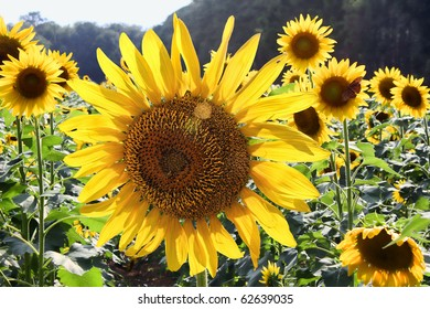 Closeup of backlit sunflowers growing in a field.