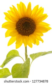 Closeup of a backlit vivid sunflower over a white background