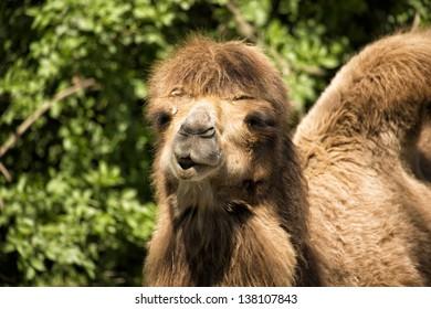 Closeup of Bactrian Camel (Camelus bactrianus)