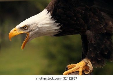 A close-up of bald eagle (haliaeetus leucocephalus) crying out