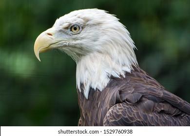 A Closeup of a Bald Eagle at the Philadelphia Zoo in Pennsylvania, USA