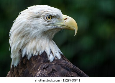 A Closeup of a Bald Eagle at the Philadelphia Zoo in Pennsylvania, USA