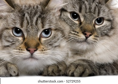 Close-up of Balinese cats, 2 years old