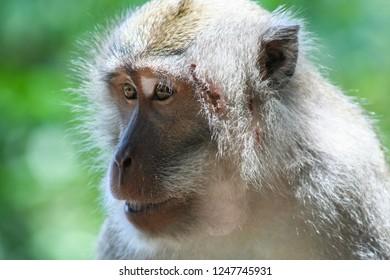 closeup of Balinese monkey