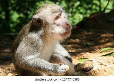 closeup of Balinese monkey eating