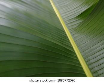 Close-up of banana leaf, banana leaf background.  Full frame of banana leaf.