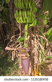 Closeup of banana plant musa acuminata with bunch of fruit and large purple flower hanging in plantation