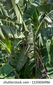 Closeup of a banana tree in Batangas, the Phillipines.