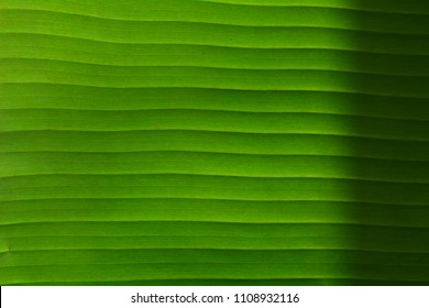 Close-up of Banane leaf, green nature trexture background