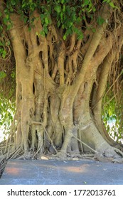 Closeup of banyan tree trunk roots with carvings. Roots of a tree and trunk. interesting tree trunk in tropical forest