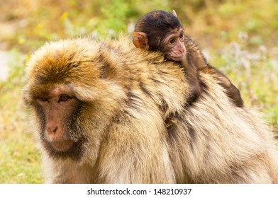 Close-up of a Barbary ape with baby