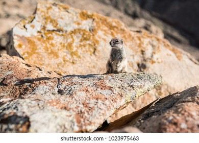 close-up of barbary ground squirrel on rocks on island of Fuerteventura