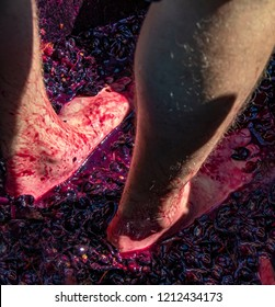 Closeup of bare feet and hairy male legs in barrel of crushed grapes with grape juice all over as two people stomp grapes in a barrel at a wine festival