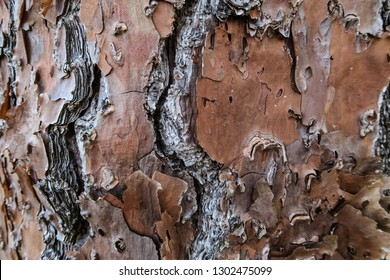 Closeup of the Bark of a Slash Pine Tree