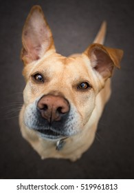 Close-up of a barking dog with big ears