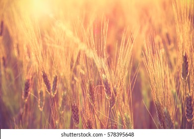 Closeup Barley rice field at the sunset time with lens flare