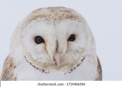 Close-up of a barn owl isolated on a white background