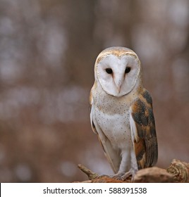 A close-up of a Barn Owl (Tyto alba).