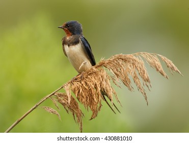 Close-up Barn Swallow, Hirundo rustica, isolated adult male perched on dry reed against blurred green background.
