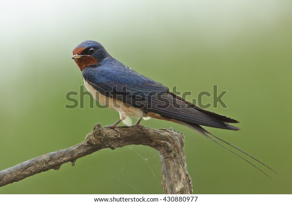 Close-up Barn Swallow, Hirundo rustica, isolated adult male perched on twig against abstract green background.