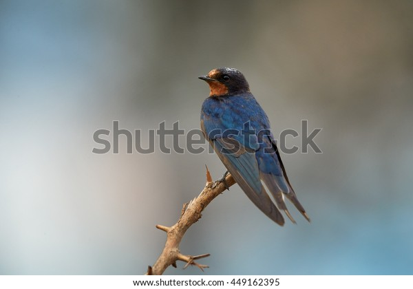 Close-up Barn Swallow, Hirundo rustica, isolated adult male perched on twig against abstract blue background. Wintering bird,South Africa,Kruger.