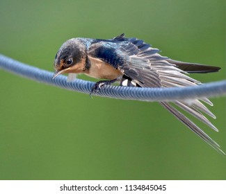 Close-up, Barn Swallow, Palau, isolated, sitting on a blue rope and head facing down