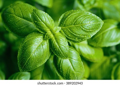 A close-up of basil leaves with water drops