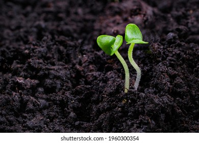 Close-up of basil sprouts. Macro of growing basil seedlings. Vegan and healthy eating concept. Sprouted seeds, micro greens.