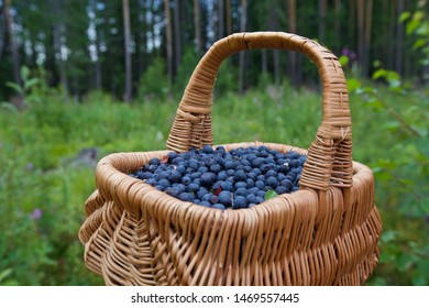 A close-up of basket with bilberries (vaccinium myrtillus). Season: Summer. Location: Western Siberian taiga.