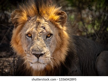 Close-up of battle scarred male African lion face looking directly at camera with morning sun lighting his mane and reflecting in his amber eyes.