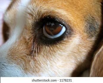 A closeup of a beagle's face - Molly.