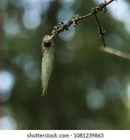 Closeup of beard moss hanging on a twig