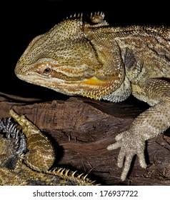 Closeup of bearded dragon lizard.