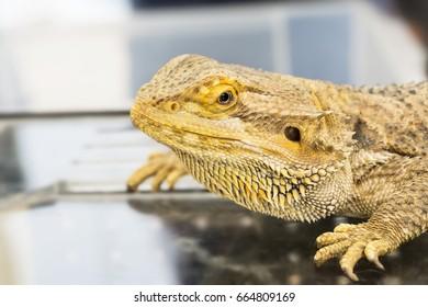 Closeup of  Bearded Dragon (Pogona vitticeps)