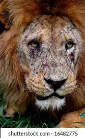 close-up of beaten lion's face