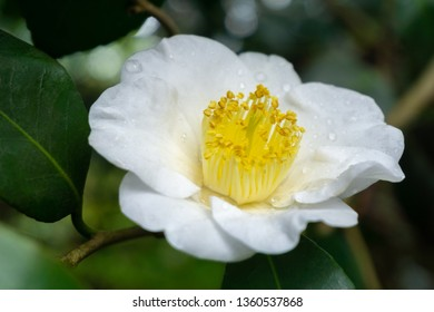 Close-up of a beautidful white Camellia Yukimi Guruma (camellia japonica) Flower in April.