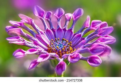 Closeup of beautiful African daisy