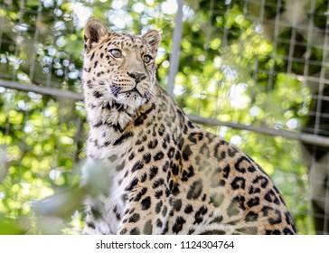 Closeup of a beautiful Amur Leopard looking into the distance.
