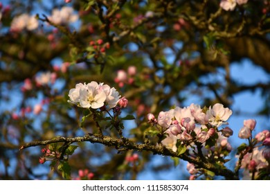 Closeup of beautiful apple tree flowers in a tree